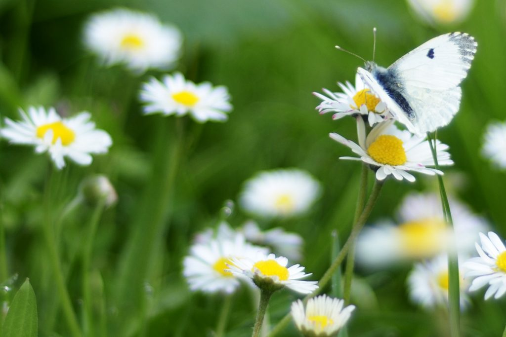 Daisies with a butterfly